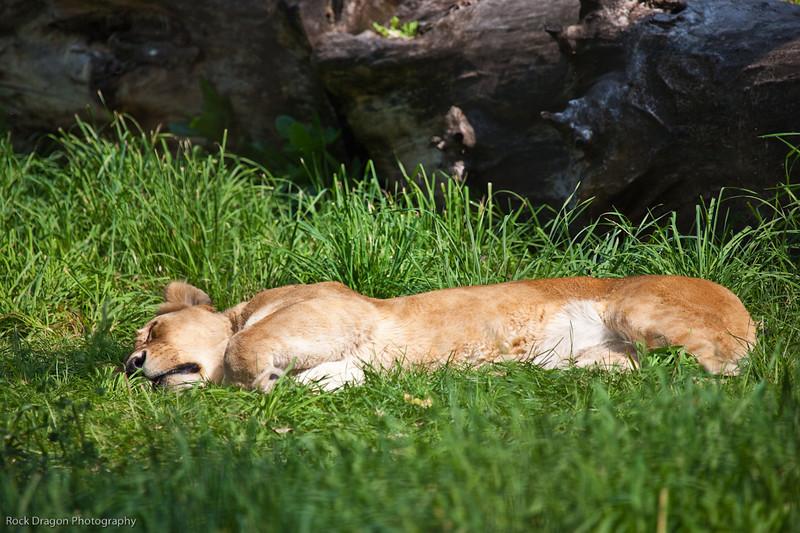 African Lion, Calgary Zoo, Sept. 30
