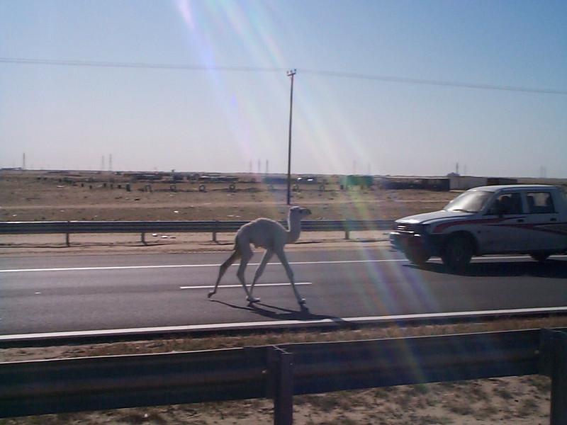 Camel baby.jpg