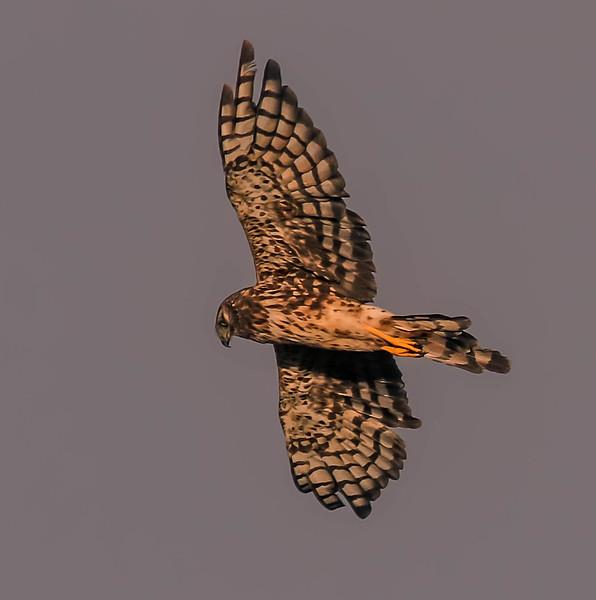 Female Harrier Immature