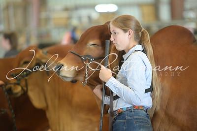 TCCA Heifer Show - Ringshots 1