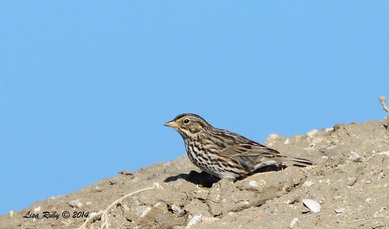 Belding Savannah Sparrow - 1/18/2014 - Salt Works