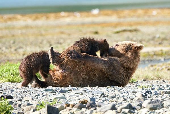 Mother Brown Bear Feeds Triplets Katmai 2020