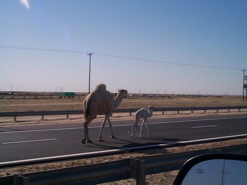 Camel mommy&baby.jpg
