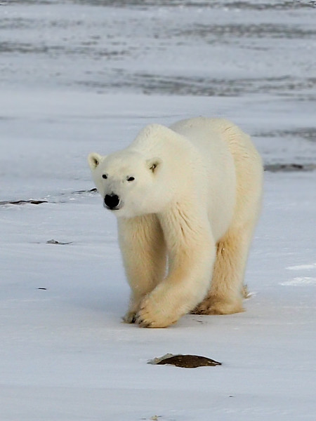Polar bear in Manitoba