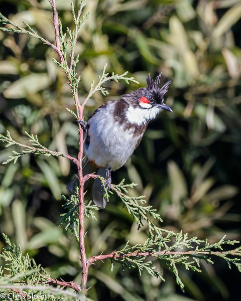 Red-whiskered Bulbul at Dodabetta, India (02-24-2015) 055-58.jpg
