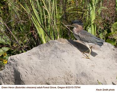 Green Heron A75744.jpg