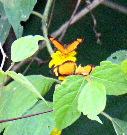 Black-bordered Tegosa