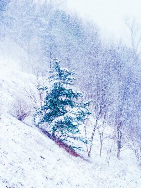 Lone.Winter.Pine.LR.JPG.LG-2.jpg
