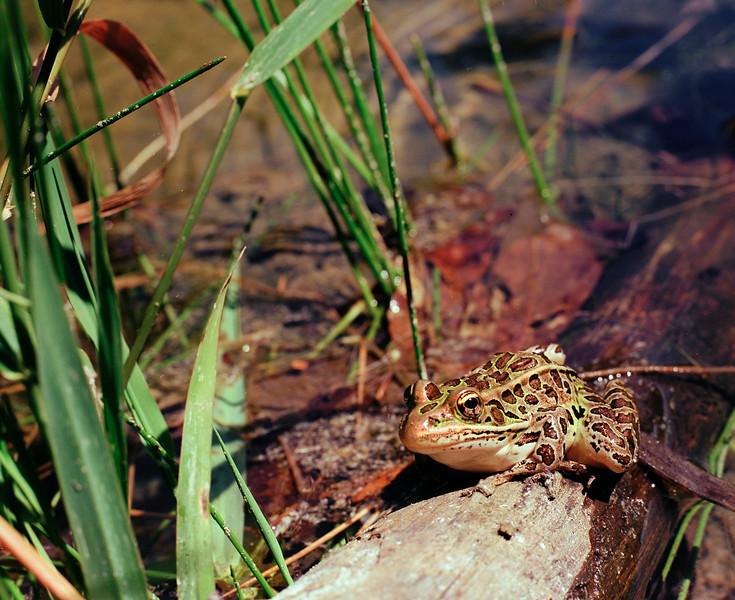Frog at