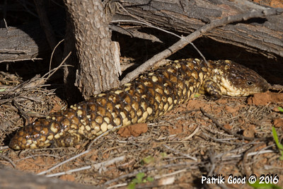 Eastern Shingleback