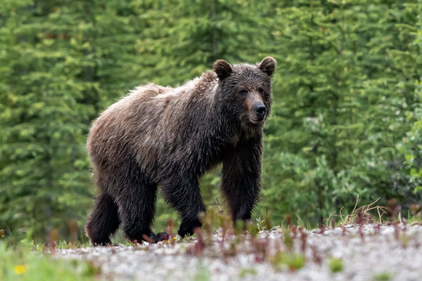 7-1-20 Grizzly Bear - Little Highwood Pass