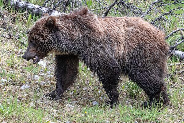 7-8-20 Grizzly Bear - Scruffy