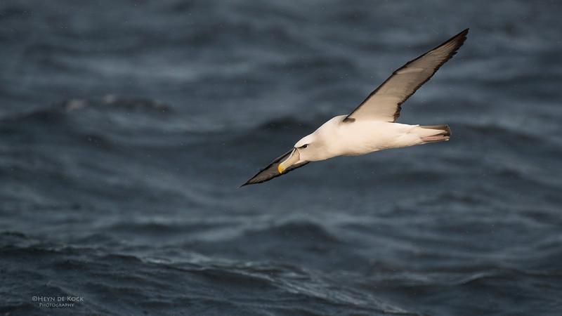 Shy Albatross, Wollongong Pelagic, NSW, Aus, Aug 2014-3.jpg