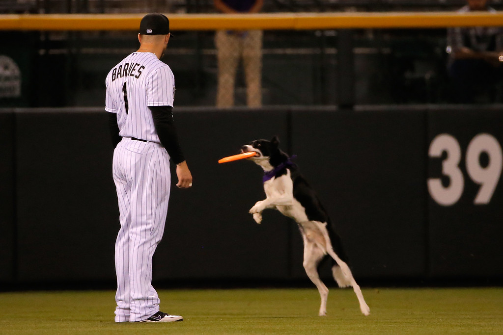 . DENVER, CO - SEPTEMBER 18:  Leftfielder Brandon Barnes #1 of the Colorado Rockies watches as a dog catches a frisbee during a promotion between innings against the Arizona Diamondbacks at Coors Field on September 18, 2014 in Denver, Colorado.  (Photo by Doug Pensinger/Getty Images)