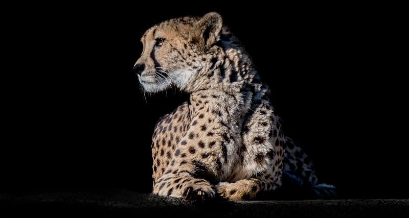 Female cheetah resting in the sun