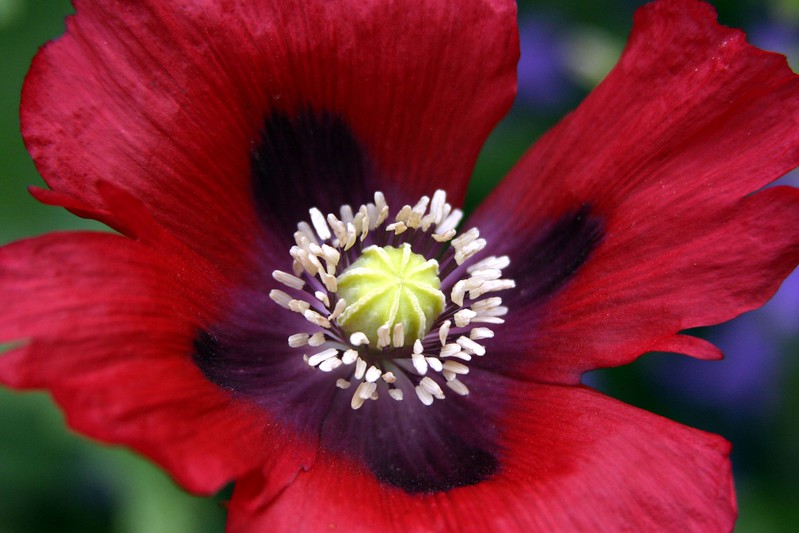 Red Poppy Stamen 014.jpg