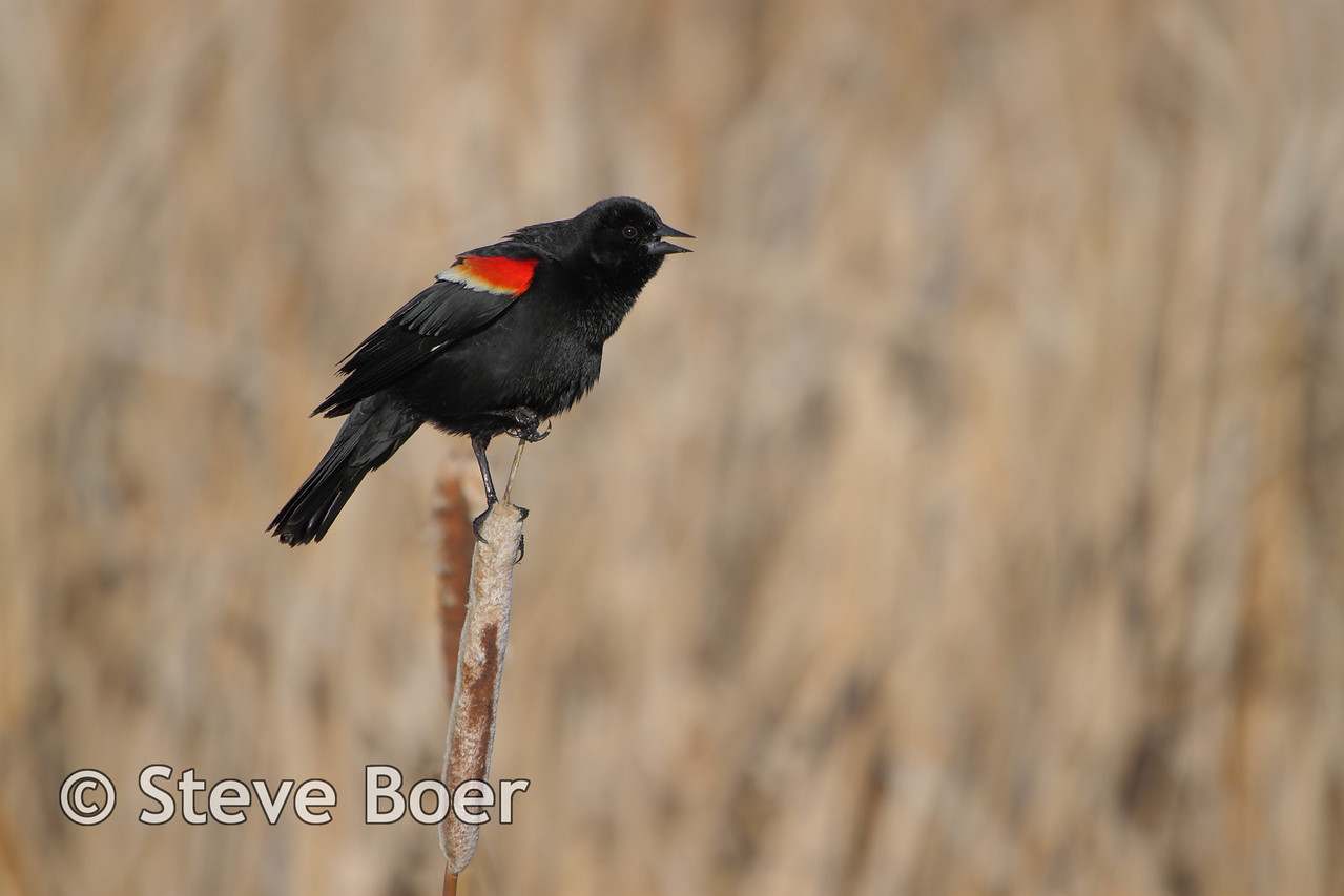 Red-winged Blackbird singing