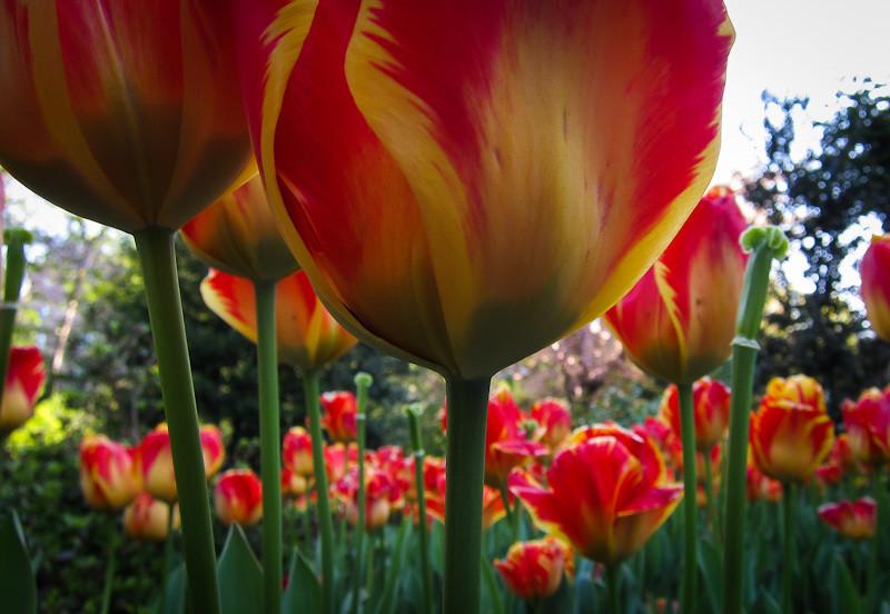 apr 9 - tulips.jpg