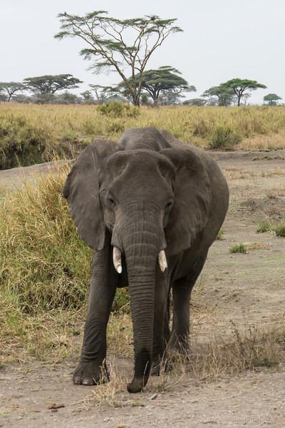 Tanzania elephant young-0222.jpg