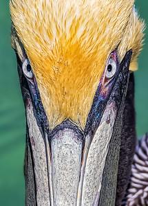 Brown pelican staredown
