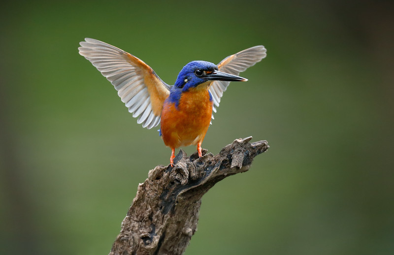 Azure Kingfisher 1.jpg