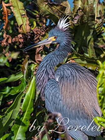 Egrets / Herons / Ibis