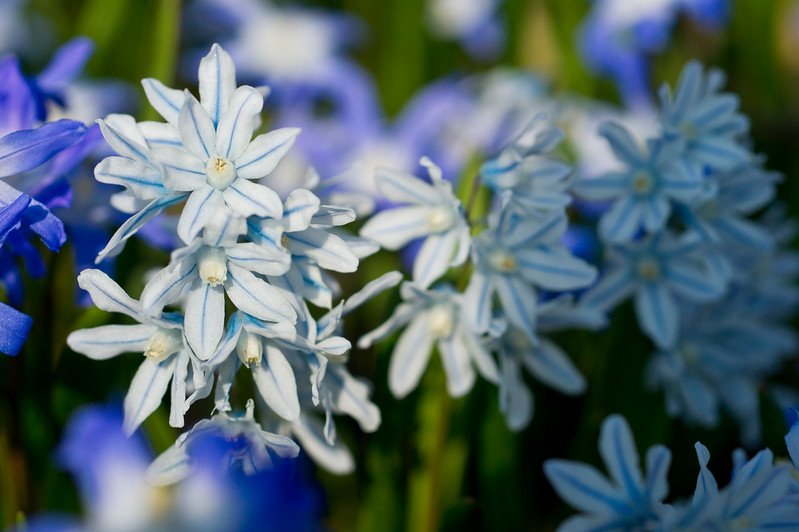 Star Hyacinth in light Blue