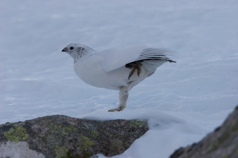 Ptarmigan (winter)