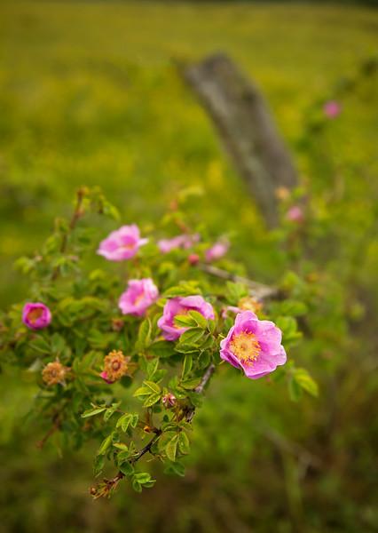 pink rose fence.jpg