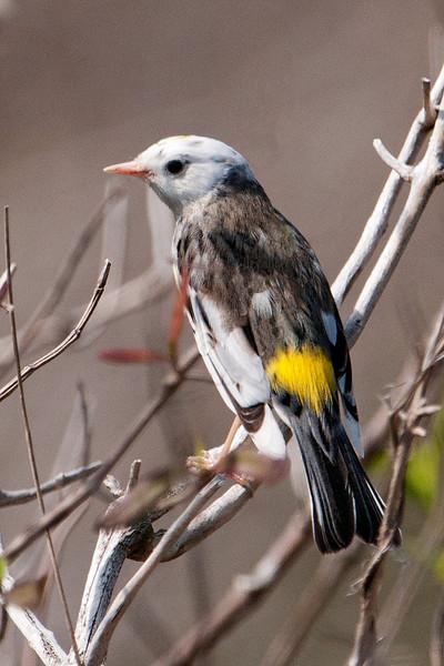 Warbler - Yellow-rumped - Leucistic - St. Marks NWR - FL