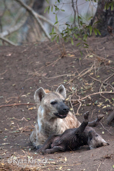 Mother hyena playing with her pup