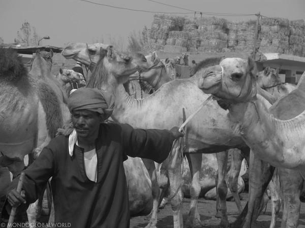 gallery_camel market
