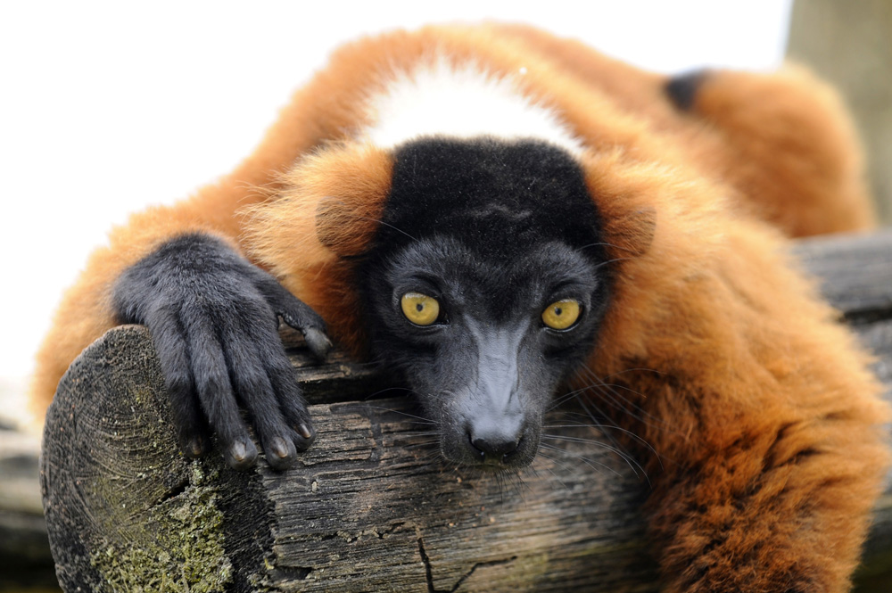 . A red ruffed lemur at the Sainte-Croix zoologic park, Rhodes, France, on July 24, 2013.      AFP PHOTO / JEAN-CHRISTOPHE VERHAEGEN