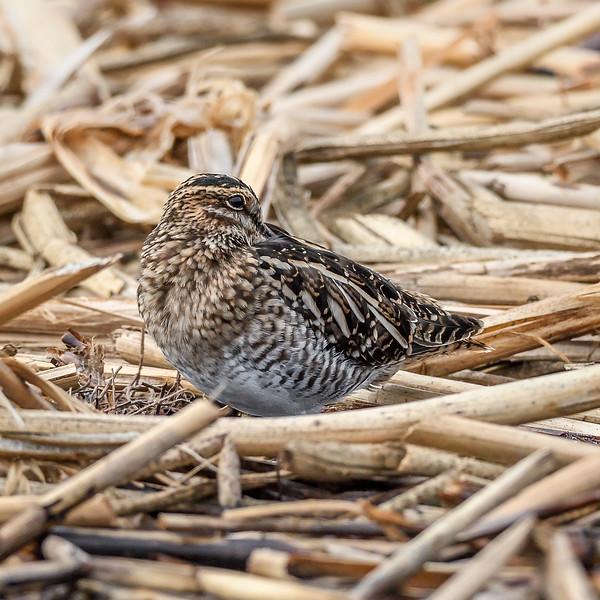 Merced National Wildlife Refuge, Merced, CA USA
