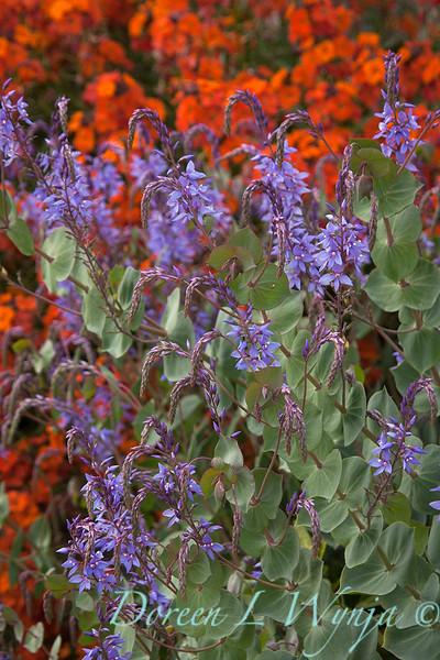 Parahebe perfoliata - purple_0597.jpg