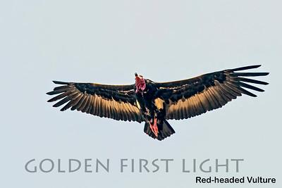Red-headed Vulture, Ranthambhore, India
