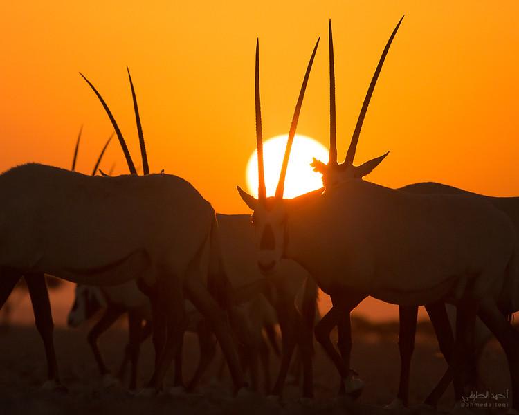 Arabian Oryx (2).jpg