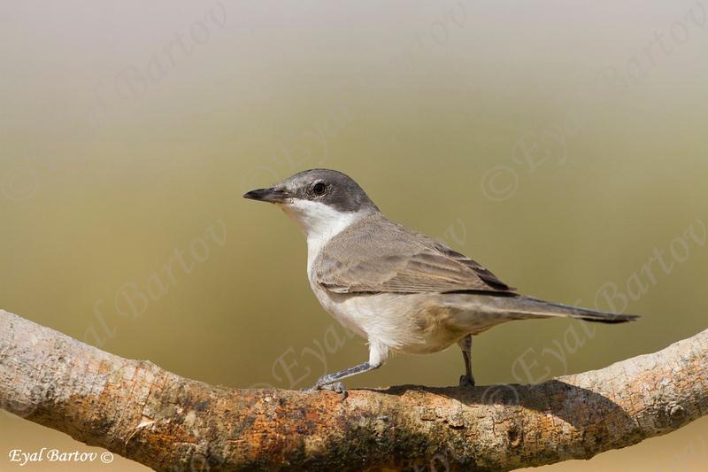 Orphean Warbler,( Sylvia hortensis) - סבכי חורש