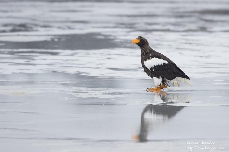 Steller's Sea Eagle - Hokkaido, Japan