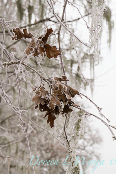 Winter frosted Quercus - oak trees_9530.jpg