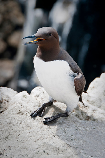 Farne Islands - Guillemot-7714-Edit.jpg