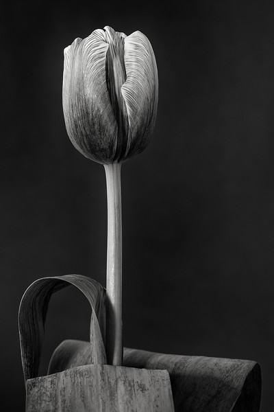 tulip 'truffle brownie'