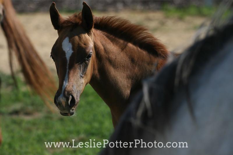 Chestnut Arabian Foal