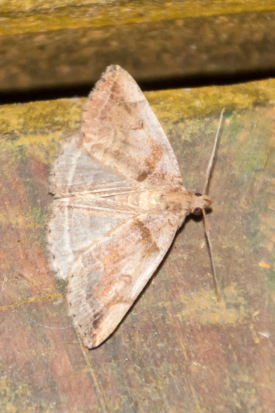 Zanclognatha-Variable-(Zanclognatha laevigata)- Dunning Lake - Itasca County, MN