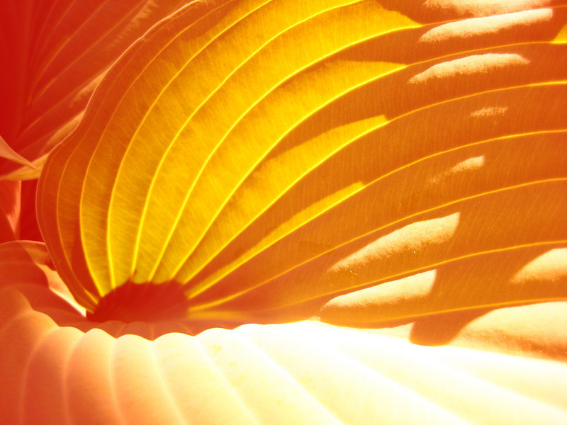 Orange Hosta.jpg