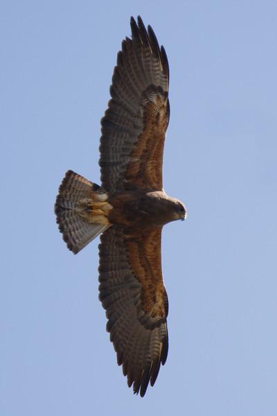 Swainson's Hawk dark morph adult (2) at Firebaugh, CA (07-18-2009)