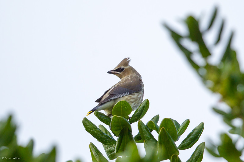 Cedar Waxwing - St. Agnes, Isles of Scilly 04/10/17