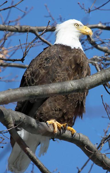 bald eagle 22214.jpg