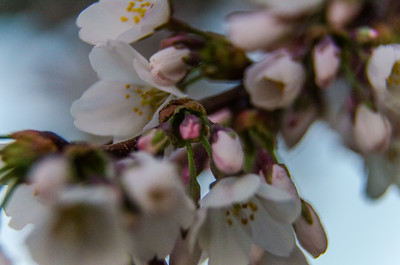 Cherry Blossom Festival Early Morning