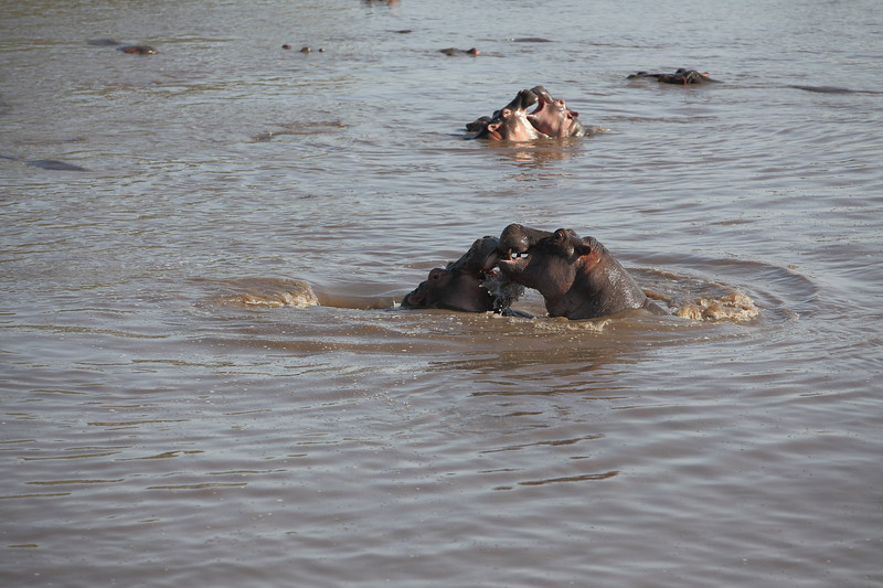 Hippos Fighting.JPG